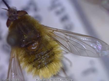 Systoechus-ctenopterus.jpg