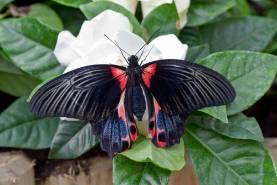 swallowtail-1000.jpg