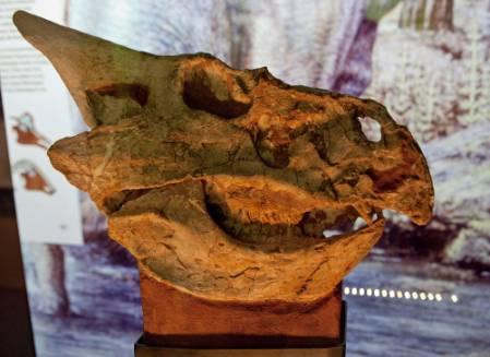 protoceratops-skull-1000.jpg