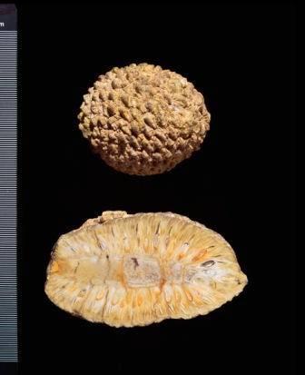 araucaria NaturalHistoryMuseum_015374_IA.jpg