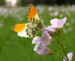 orange-tipped-butterfly-AurorafalterWiesenschaumkraut-950.jpg