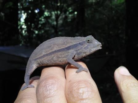 pygmy chamIMGA0318.JPG