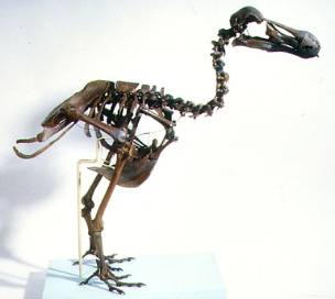 dodo-skeleton-flipped.jpg