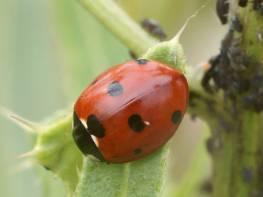 ladybird-7-spot-575.jpg