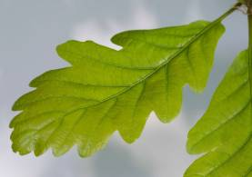 oak-leaf-2.jpg