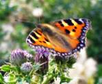 small-tortoiseshell-butterfly-crop.jpg