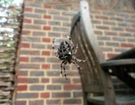 Araneus-diadematus-1000.jpg