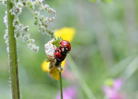 ladybirds-1000.jpg