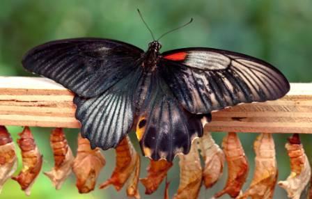dual-sex-butterfly.jpg
