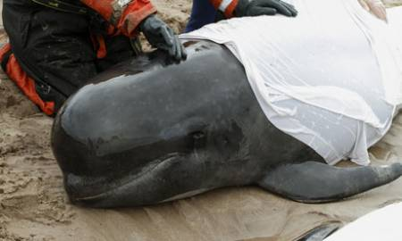 Stranded-pilot-whales-in--007.jpg