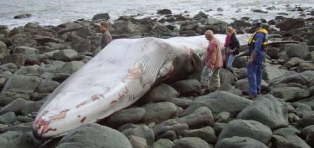 fin whale.jpg