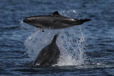 porpoise bnd attack.jpg