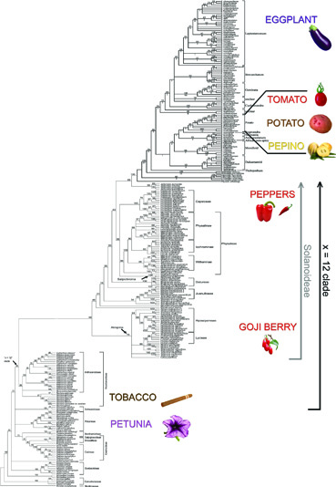 Solanaceae_large_phylogeny_SMALL_for_blog.jpg