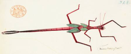 Watling-stick-insect-1200.jpg