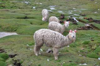 alpaca_DSC_8207 (Mobile).JPG