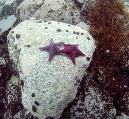 starfish odontaster.jpg