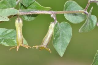 Salpichroa gayi (Mobile).JPG