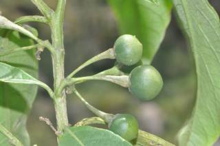 geminata fruits (Mobile).JPG