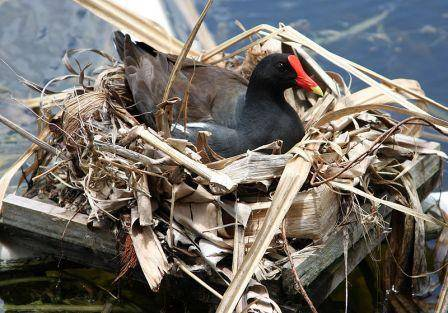 800px-Gallinula_chloropus_female_nest.jpg