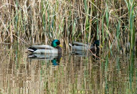 wildlife-garden-ducks-pond.jpg