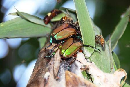 chafers on bamboo sap.JPG