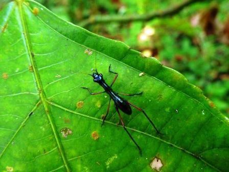 orthoptera__tiger_beetle_mimicweb.jpg