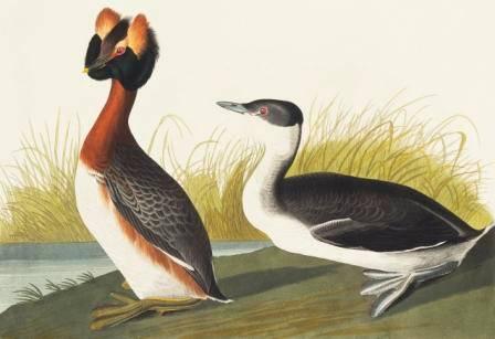 Slavonian grebe audubon (c) NHM small.jpg