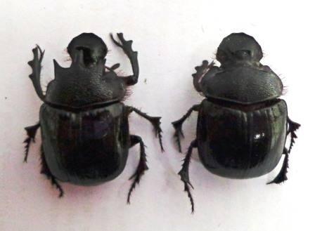 2 scarabsDSC00091a.jpg