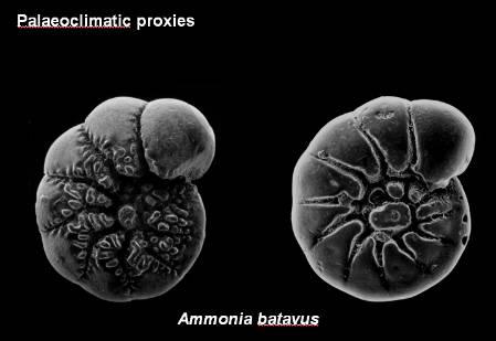 Ammonia_batavus_Palaeoclimate.jpg