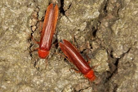 Hyloceotes dermestoides.jpg