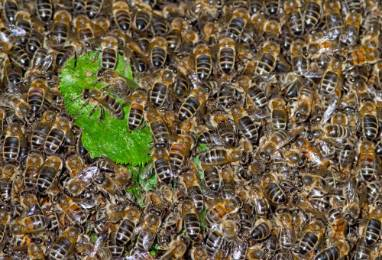 Bee-Swarm-kevin-s-garden-1000.jpg