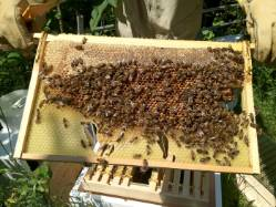 20120726-bees-on-the-comb.jpg