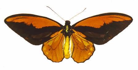 Ornithoptera croesus.jpg