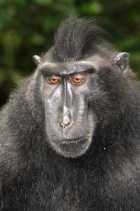 Macaque final.JPG