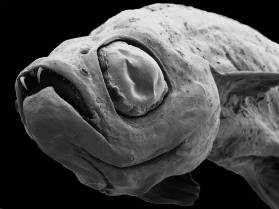 dracula-fish-1000.jpg