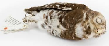 Tring-owlet-1000.jpg