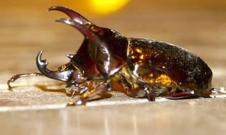 stag-beetle1.jpg