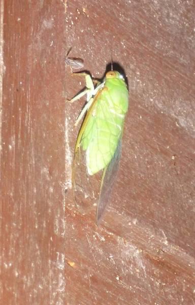 Green-cicada.jpg