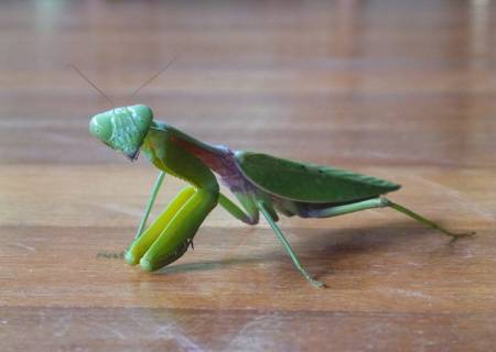 Preying-Mantis.jpg