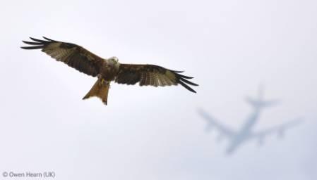 hearn-kite-1000.jpg