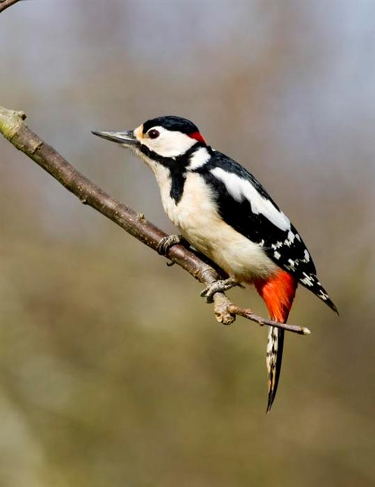 6 - great spotted woodpecker (Custom).JPG
