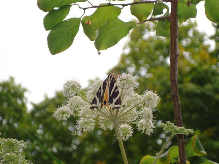 5 - Jersey tiger moth -Jo Manning (Custom).JPG