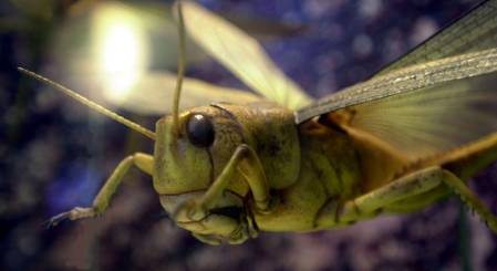 creepy-crawlies-locust-1000.jpg