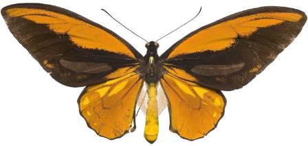 Wallaces_croesus_specimen.jpg