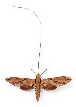Xanthopan morganii praedicta NaturalHistoryMuseum_PictureLibrary_037535_IA.jpg