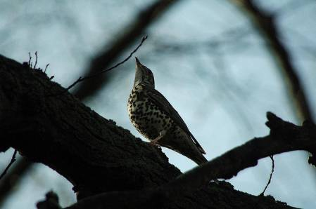 mistle-thrush-creative-commons-BY-NC-SA-2-jsutcliffe.jpg