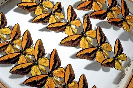 Wallace birdwing NaturalHistoryMuseum_PictureLibrary_056153_IA.jpg
