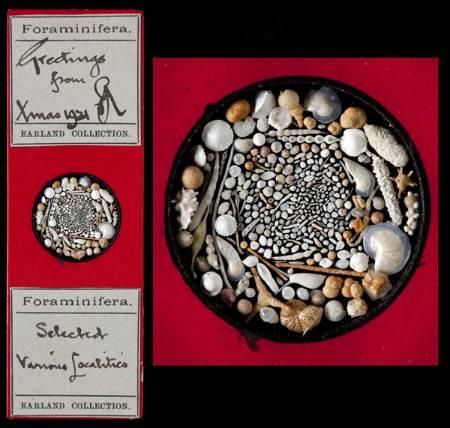 PF_70832_Various_Foraminifera_Christmas_1921.jpg