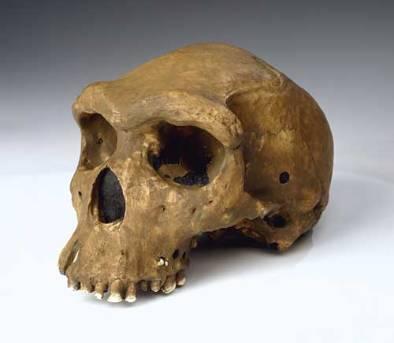 Homo heidelbergensis.jpg