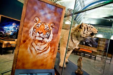 tiger-display-1200.jpg